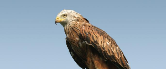 The red kite was once a rare sight in UK skies - Wildstock - Wildstock